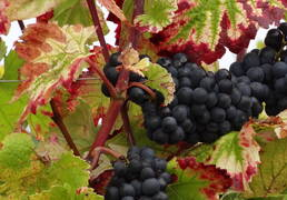 Pinot Noir Burgundy