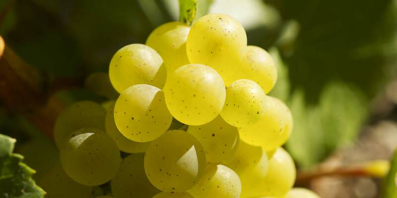 Chardonnay grape