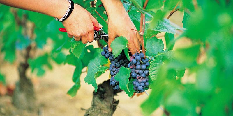 Sécateurs raisins ©Coted'OrTourisme