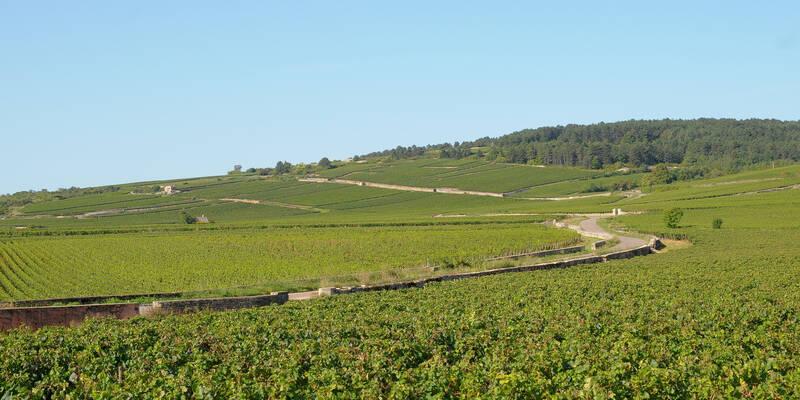 Vineyard of Pommard