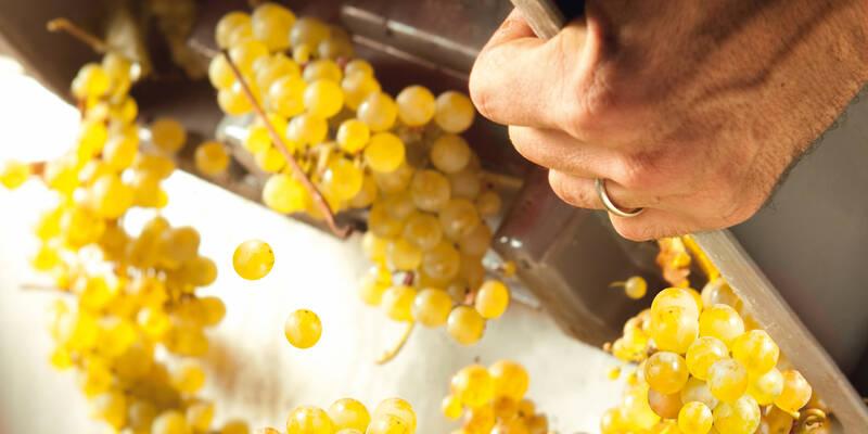 Grape harvest © Jean-Louis Bernuy