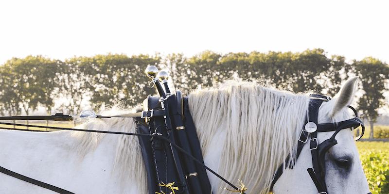 Horse in Burgundy vineyards  - Château de Pommard - Bourgogne