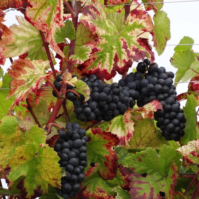 Pinot noir © Laurence Dallerey