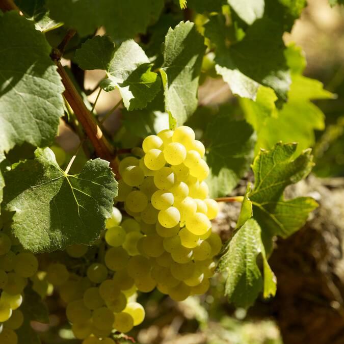 Chardonnay grape - Montrachet