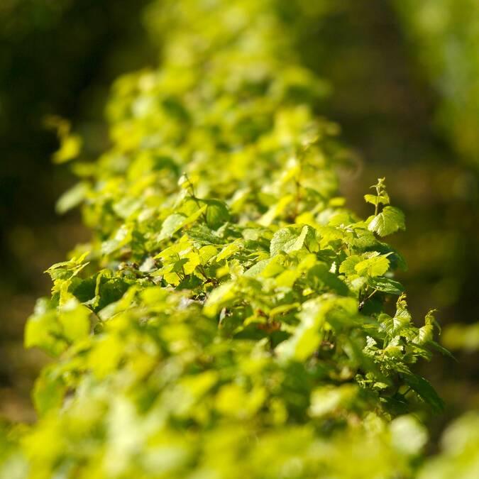Vines Montrachet