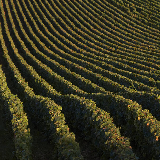 Vines © Studio Piffaut