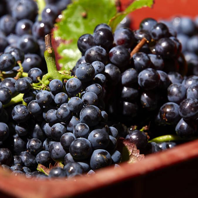 Grape harvest : Pinot noir © Studio Piffaut