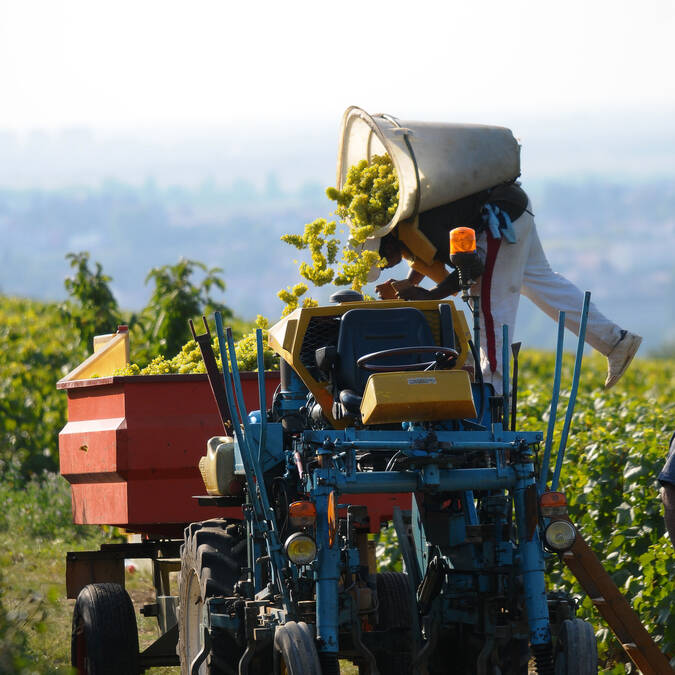 Grape harvest © Images & Associés